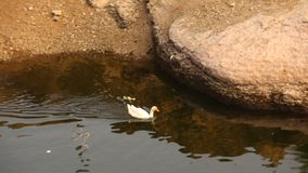 Ducks In the water at rural area stock footage