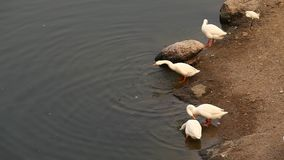 Ducks In the water at rural area stock video footage