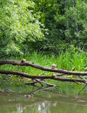 Ducks on the water. Ducks sit on a tree near the pond Royalty Free Stock Photography