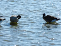 Ducks in water. Ducks sitting and standing in the water Stock Photo