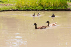 Ducks on water Stock Images