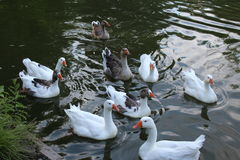 Ducks. In the water on a summer evening Stock Photography