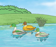 Ducks in the water. Swimming ducks are illustrated in the water Stock Photo
