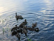 Ducks on the water Royalty Free Stock Images