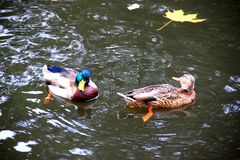 Ducks on the water Royalty Free Stock Photography