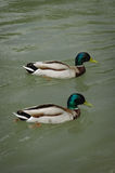 Ducks in the water Royalty Free Stock Photography
