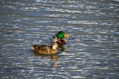 Swimming ducks in lake. Ducks in the water which reflects the shiny sky Stock Photography