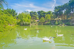 Ducks in the water. White ducks and turtles in a green pond Royalty Free Stock Images
