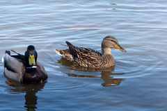 Ducks in water. Royalty Free Stock Photo
