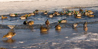 Ducks in water in winter Royalty Free Stock Images