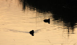 Ducks in the water on a winter day Stock Image