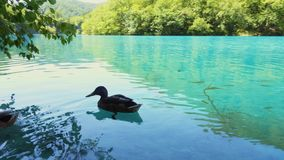 Ducks in waters of Plitvice Lakes National Park.  stock video