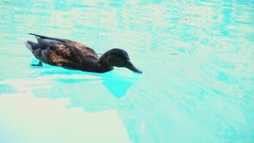 Ducks in waters of Plitvice Lakes National Park.  stock footage
