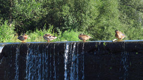 Ducks on the weir Royalty Free Stock Image