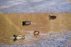 Ducks which swim in a lake - Pond of the Mute in the city of Elancourt in France. Ducks which swim in a lake frozen with an icy frosty water. It is in the day Royalty Free Stock Photography