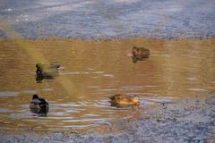 Ducks which swim - Pond of the Mute in the city of Elancourt in France. Ducks which swim in a lake frozen with an icy frosty water. It is in the day and in Stock Photos