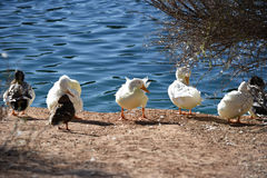 Ducks and white goose Stock Photos