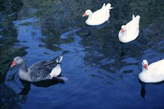 Ducks in white and gray over blue lake Royalty Free Stock Image