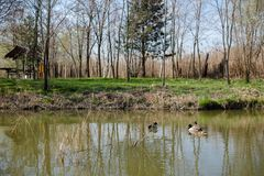 Ducks in wild. On lake Royalty Free Stock Photo