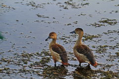 The ducks. Wild ducks, often appear in the swamp Royalty Free Stock Photography