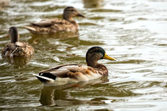 Ducks in the wild Stock Image