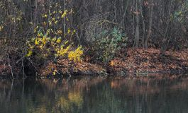 Ducks wild on the water of the forest lake in autumn Stock Photography