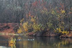 Ducks wild on the water of the forest lake in autumn Stock Photo