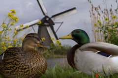 Ducks and windmill in holland Royalty Free Stock Photo