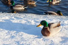 Ducks in the winter. Ducks swim in a reservoir in the winter Royalty Free Stock Photography