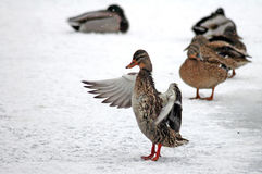 Ducks in winter. Brown ducks on frozen pond, duck in front waving with wings Royalty Free Stock Images