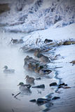 Ducks in the winter. A group of ducks huddling along the shore line Stock Photo