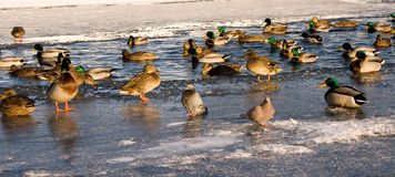 Ducks in winter Royalty Free Stock Images