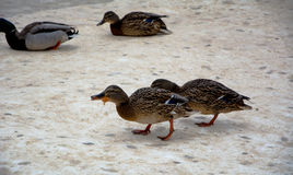 Ducks in winter Royalty Free Stock Photos