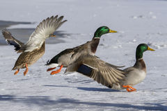 Ducks in winter Royalty Free Stock Photography