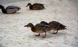Ducks in winter. Ducks walk in the Park in winter, feeding wild ducks Royalty Free Stock Photos