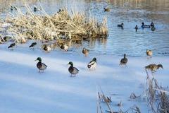 Ducks in the winter frozen  lake. Ducks  sitting on the ice in the winter frozen  lake Stock Image