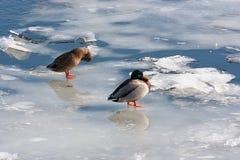 Ducks in winter Stock Photo