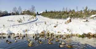 Ducks on winter lake. Wild Ducks on frozen  snow winter lake landscape. Sunny day, selective focus Royalty Free Stock Photos