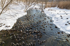 Ducks in the Winter Royalty Free Stock Images