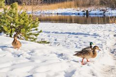 Ducks in the winter nature Royalty Free Stock Photo