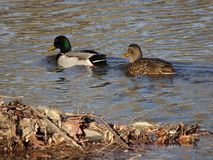Ducks in a winter pond. Male and female mallard ducks swimming in brown winter river Stock Images