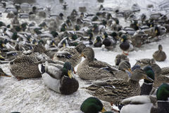 Ducks in winter pond. Mallard ducks in winter pond on ice Royalty Free Stock Photo