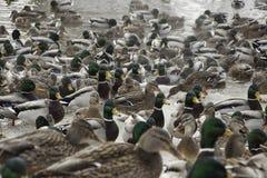 Ducks in winter pond. Mallard ducks in the winter pond water Stock Images