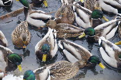 Ducks in the winter pond Royalty Free Stock Images