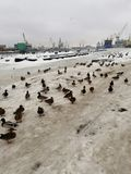 Ducks in winter at the port stock photography