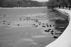 Ducks on winter river. Monochrome scenery with a flock of ducks on ice-covered water Royalty Free Stock Photography