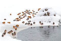 Ducks in winter on the snow with pond. Ducks in winter on the white snow with pond Royalty Free Stock Images