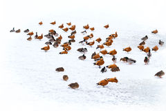 Ducks in winter on the snow. Ducks in winter on the white snow with pond Royalty Free Stock Photography