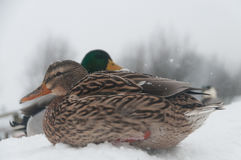 Ducks in Winter. Snowed-in Ducks near the Town of Afsnee in East Flanders, Belgium Royalty Free Stock Image