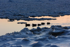 Ducks in winter Royalty Free Stock Photo